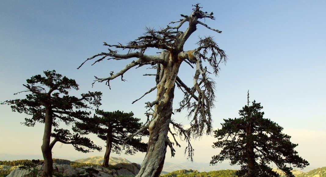 Der älteste Baum von Europa ist eine Schlangenhautkiefer.