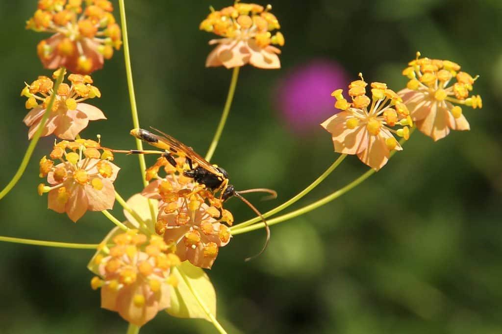 Eine gelbe Schlupfwespe auf der Blüte.