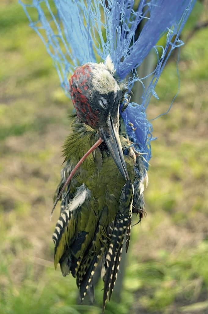 Ein Grünspecht hat sich in einem Netz verfangen und hängt tot darin.