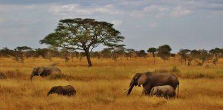 Tiere in der Serengeti, wie diese Elefanten, müssen gerettet werden.