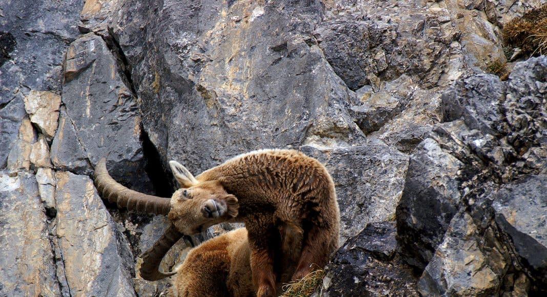 Ein Steinbock steht in einer Felswand und hält den Kopf mit seinen langen Hörnern geneigt.