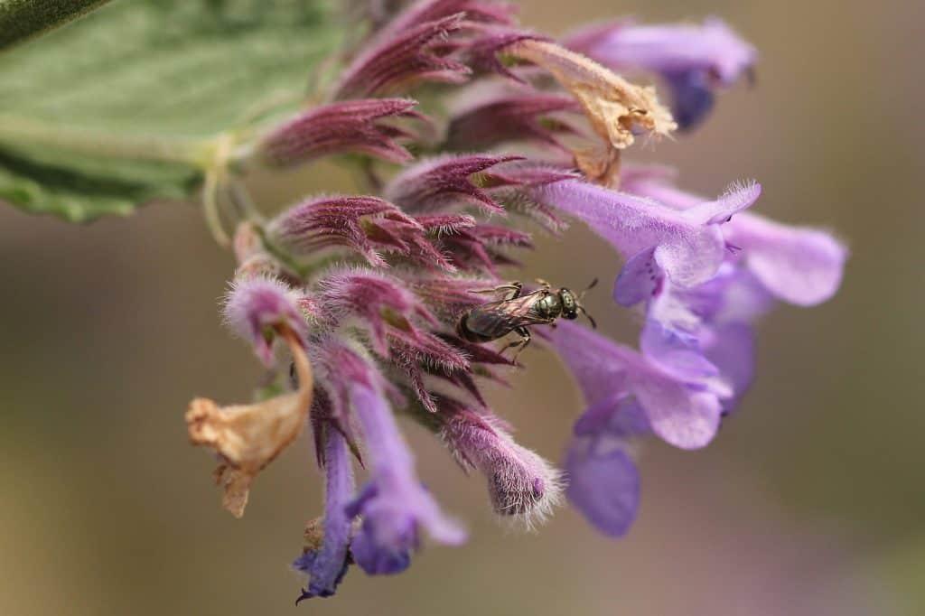 Eine winzige Wildbiene sucht Nahrung auf der Katzenminze.