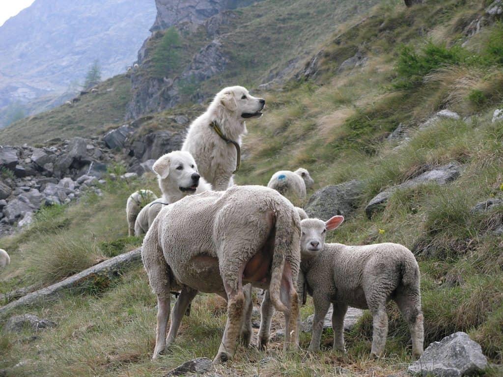 Der Herdenschutzhund passt in den Alpen auf die Schafe auf.