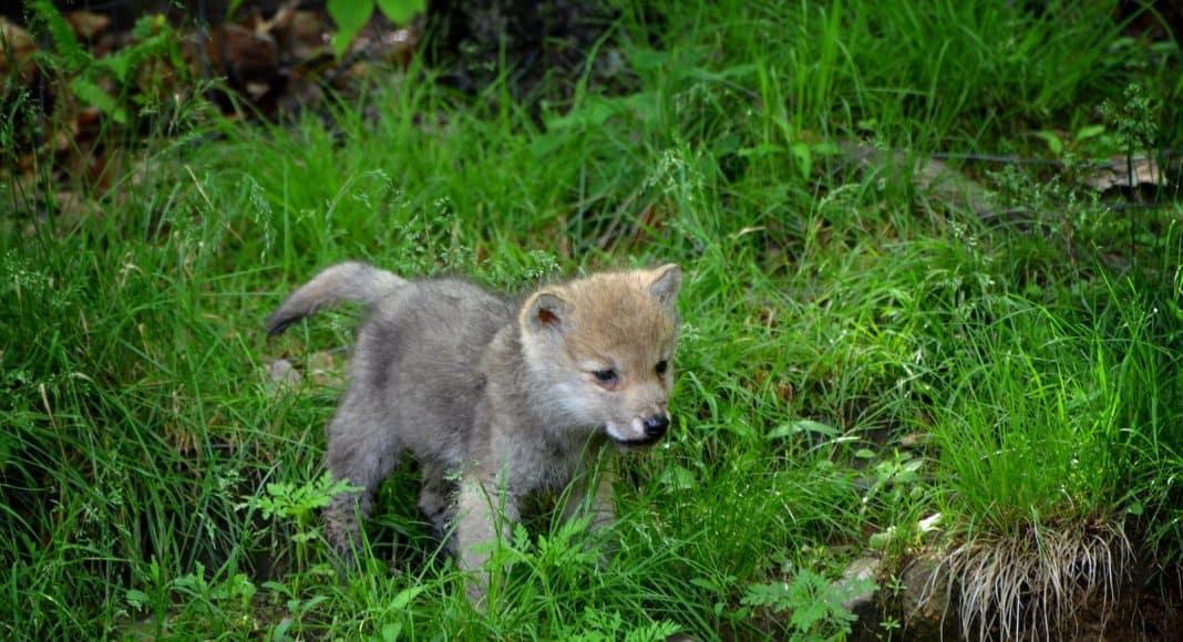 Wildtiere, hier ein Wolf, soll einfacher abzuschiessen sein.