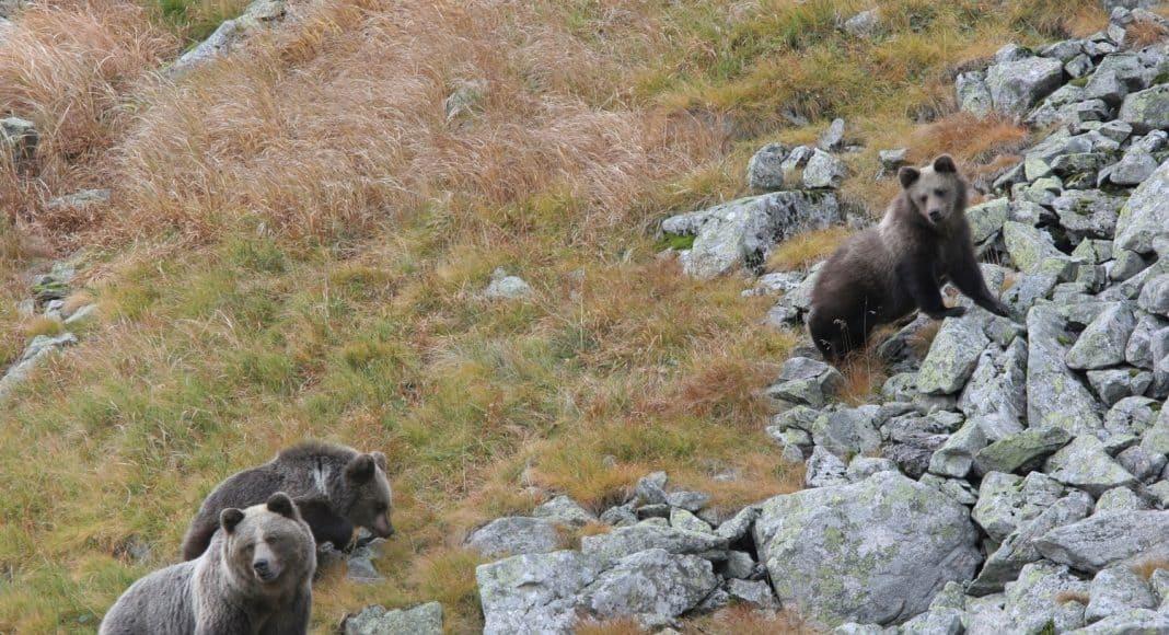 Bärin mit ihren Jungen im Gebirge unterwegs.