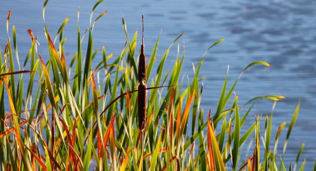 Uferpflanze, wie dieses Schilfrohr, braucht einen spezifischen Lebensraum.