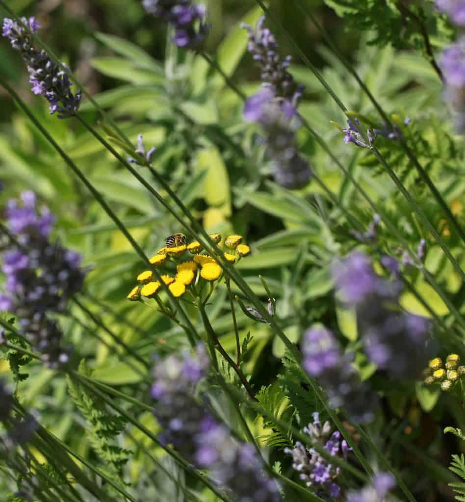 Eine Seidenbiene sitzt auf einem Farn.