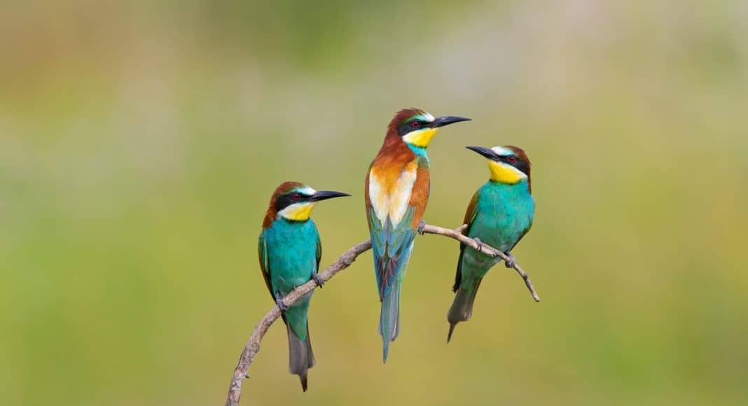 Zugvögel Bienenfresser sitzen auf einem Ast.