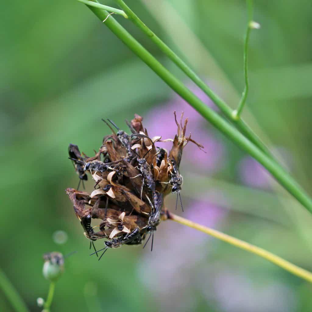 Einige männliche Schmalbienen sitzen auf einer Blüte, die ihnen als Schlafplatz dient.
