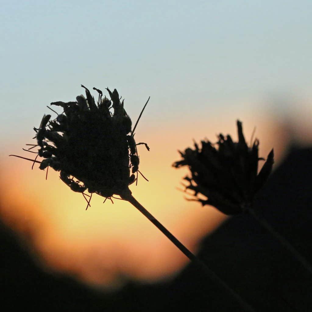 Schmalbienen auf Blüte im Sonnenuntergang.