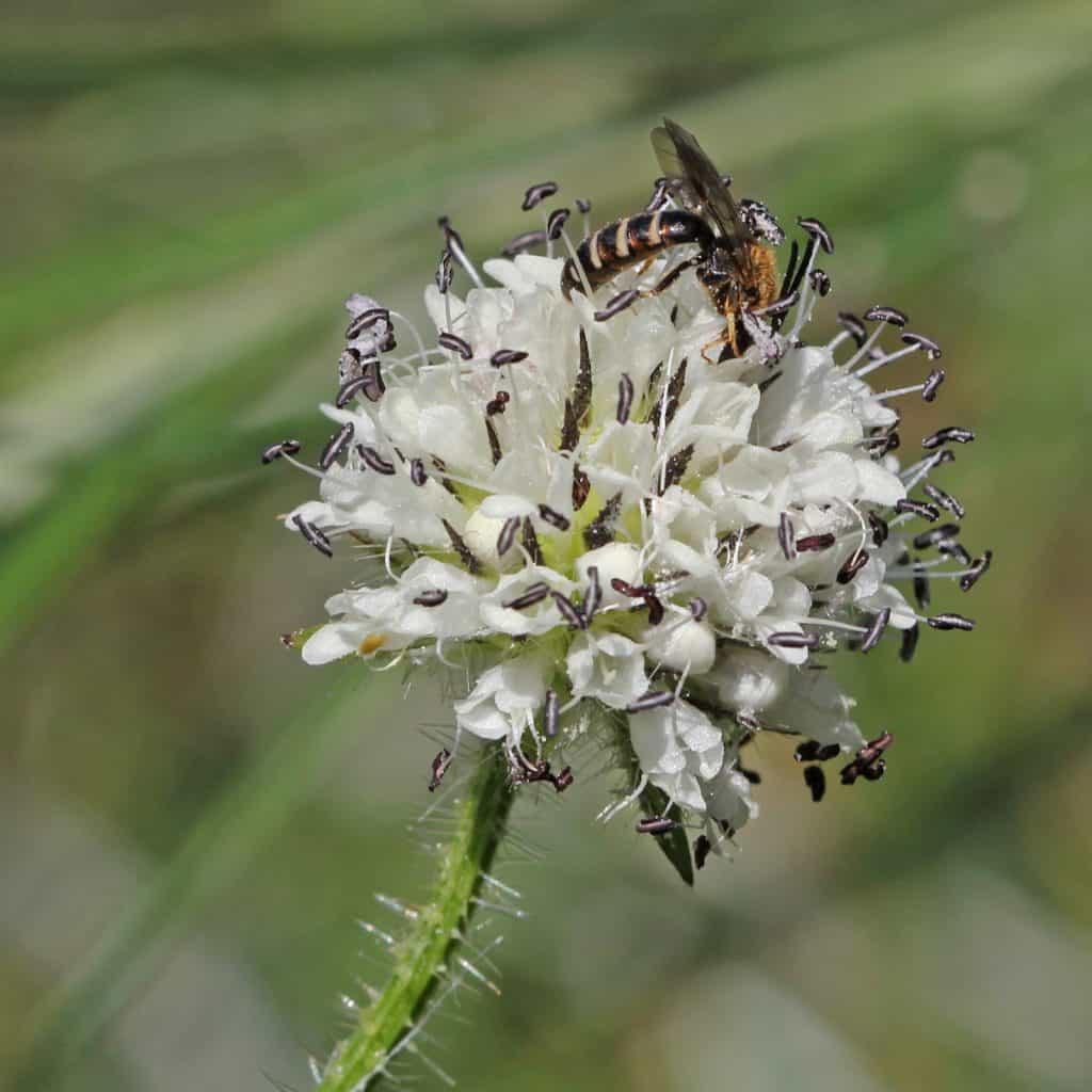 Eine Wildbiene sitzt auf einer behaarten Karde.