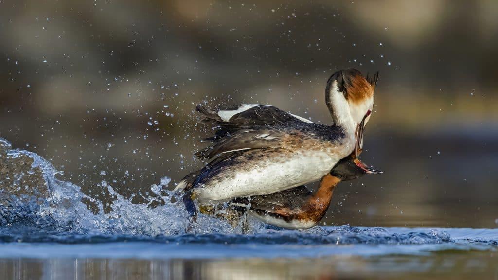 Zwei Enten kämpfen miteinander.