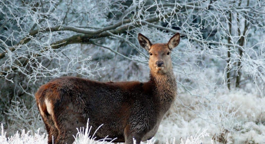 Wildtier, hier Hirsch, steht im Schnee.