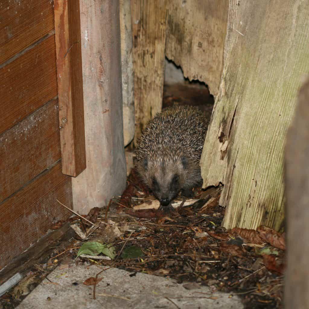 Igel schaut aus einer Lücke im Holzzaun.