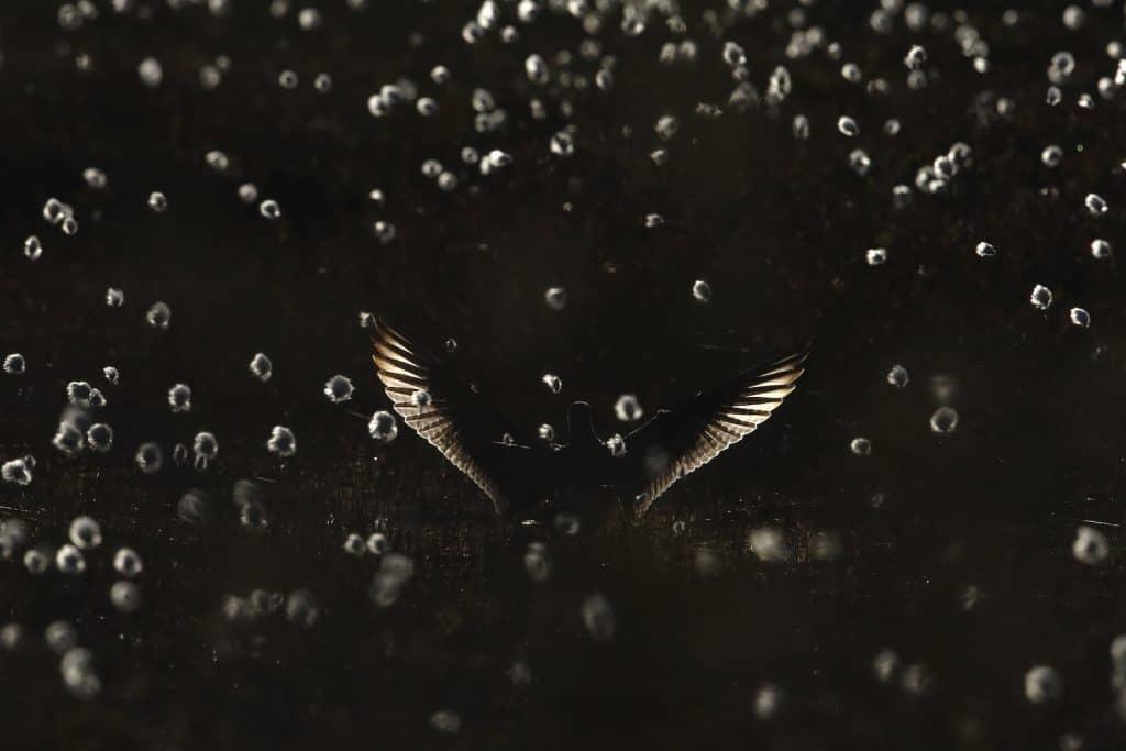 Regenbrachvogel im dunklen.