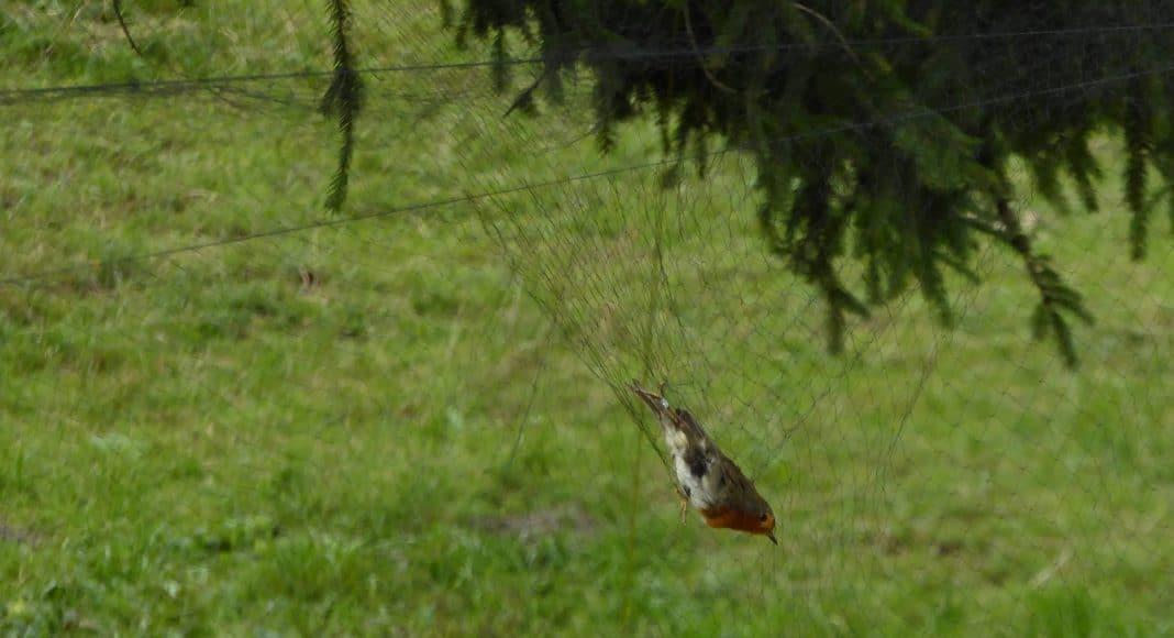 Zur Beringung gehört das Fangen der Zugvögel dazu: Hier ist ein Rotkehlchen ins Netz gegangen.