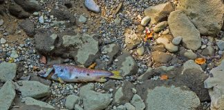 Trockenheit tötete wohl diesen Fisch.
