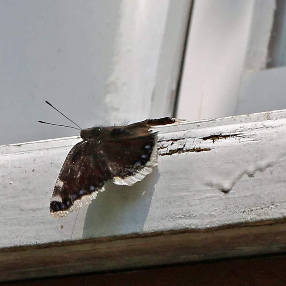 Ein Trauermantel auf dem Fenstersims.