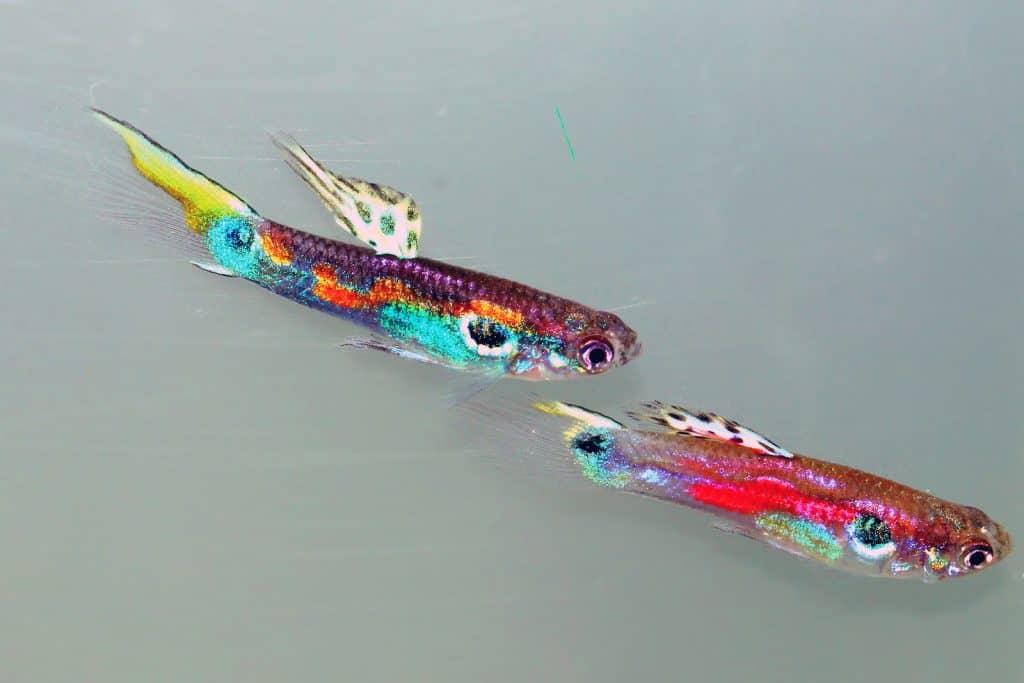 Zwei farbenfrohe Guppy Fische, die auf zunehmenden Lichtverschmutzung reagieren.