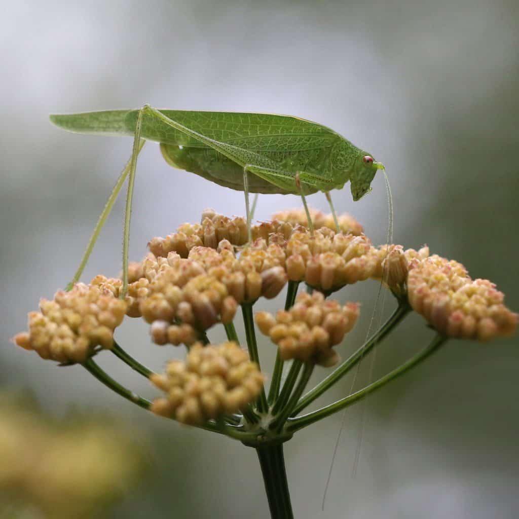 Vierpunktige Sichelschrecke auf einer Blüte.