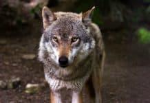 Ein Wolf wird zum Abschuss freigegeben.