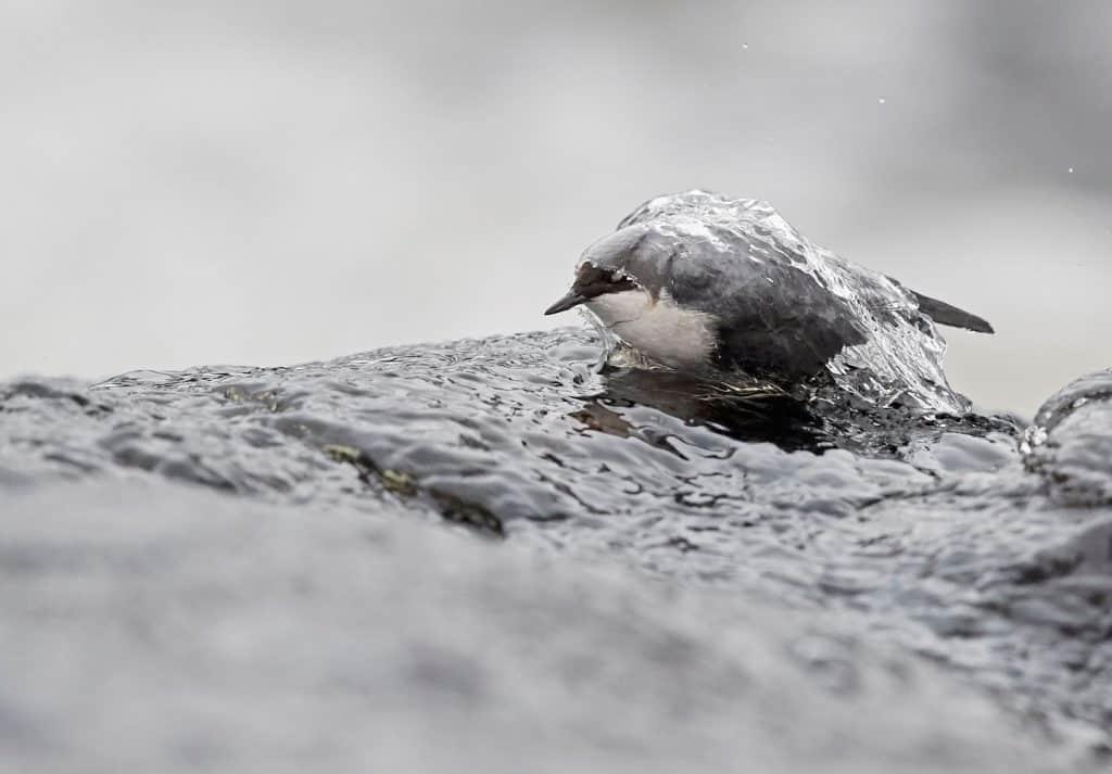 Eine Wasseramsel im Wasser. Bild vom Fotowettbewerb.