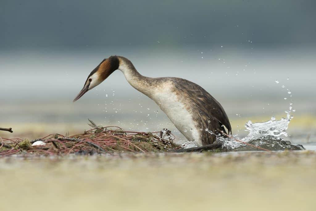 Ein Haubentaucher im Wasser, hat im Fotowettbewerb auch einen Preis gewonnen.
