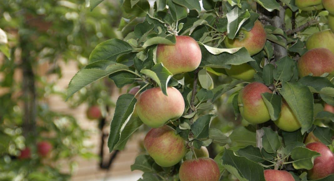 Ein Apfelbaum mit Früchten.