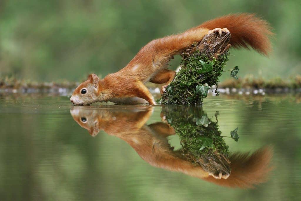 Ein Eichhörnchen trinkt aus einem Teich. Bild aus Fotowettbewerb.