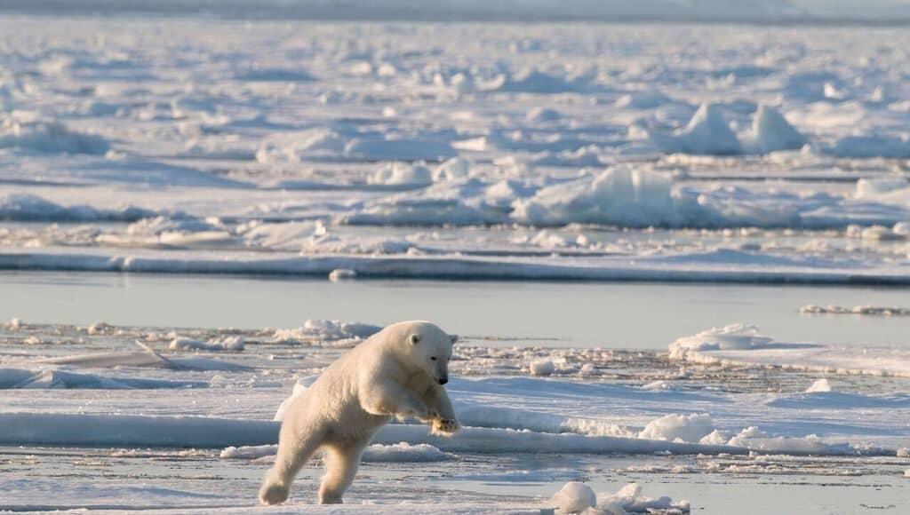 Immer mehr Wirbeltiere sterben aus, hier ein Eisbär.
