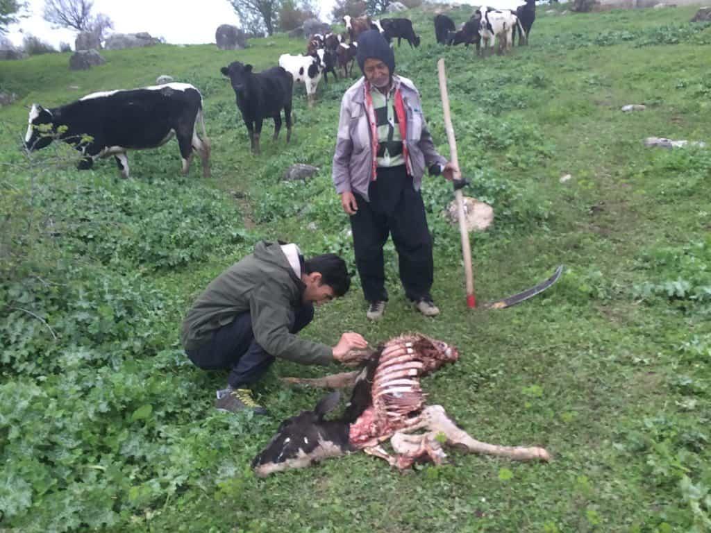 Eine tote Kuh liegt am Boden und zwei Menschen beugen sich darüber.