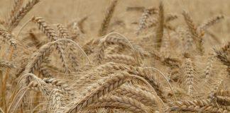 Reife Getreideähren im Braunton.