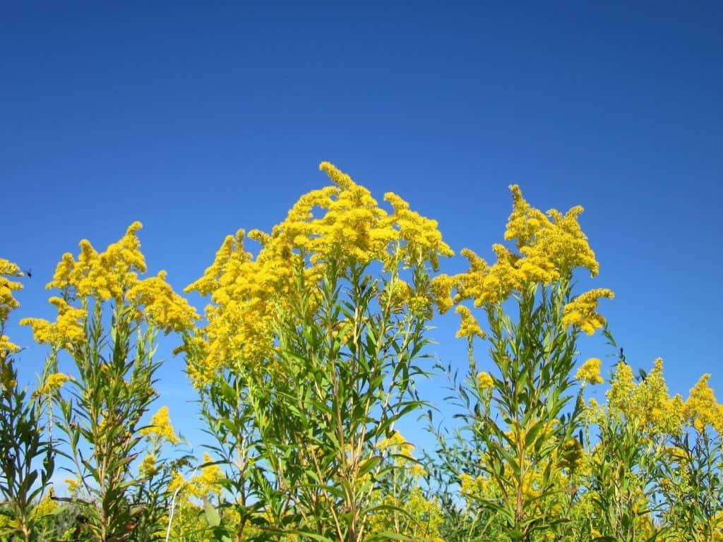 Die Goldrute gehört zu den invasiven Neophyten