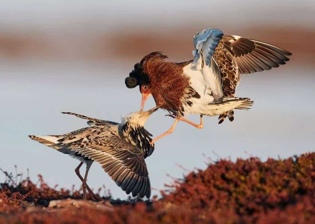Zwei Kampfläufer streiten sich miteinander.