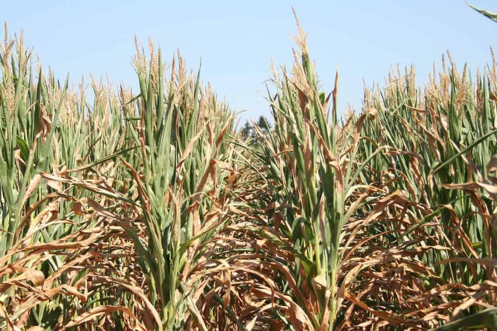 Blick in ein Maisfeld.
