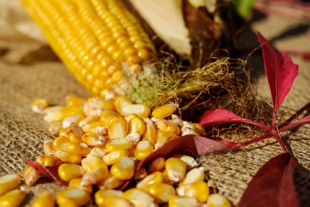 Aus Maiskolben im Herbst lässt sich viel basteln und dekorieren.