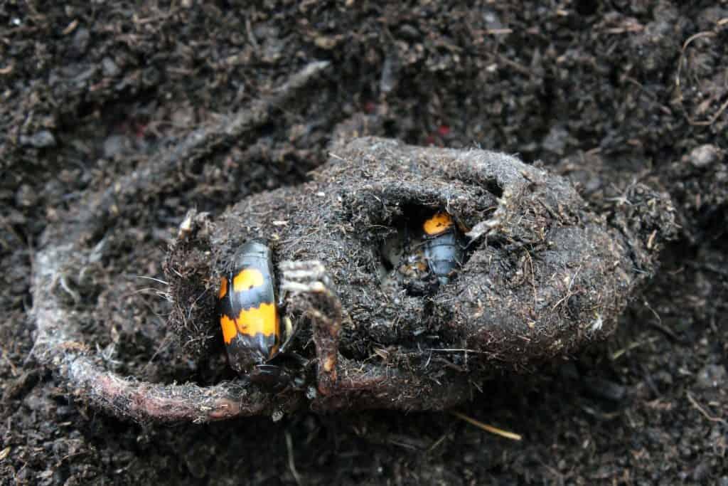 Zwei Totengräber Käfer krabbeln auf einem Aas.