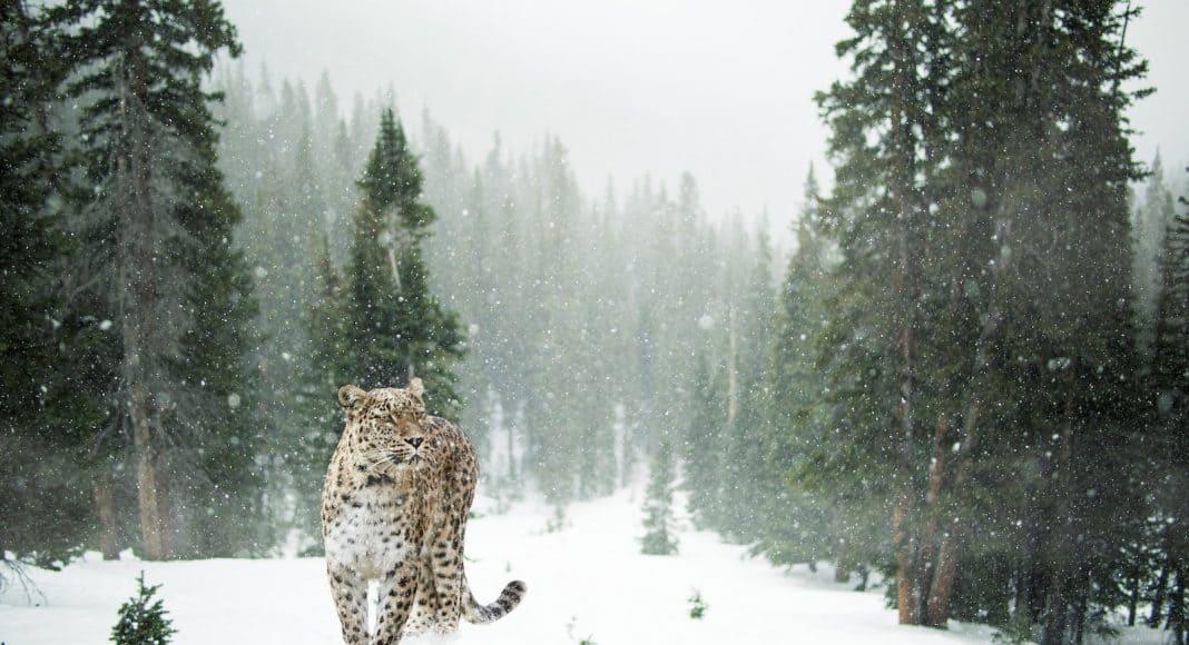 Verschneite Waldlandschaft mit Leopard.