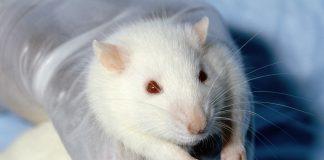 Tierversuch an einer Ratte.