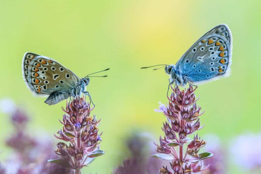 Männchen und Weibchen des Hauhechelbläulings schauen sich an.