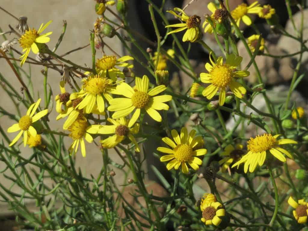 Das schmalblättrige Greiskraut gehört zu den invasiven Neophyten.