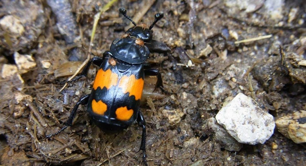 Totengräber-Käfer konservieren Aase für ihren Nachwuchs 1