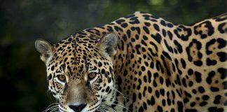 Der Lebensraum des Jaguars ist am schwinden.