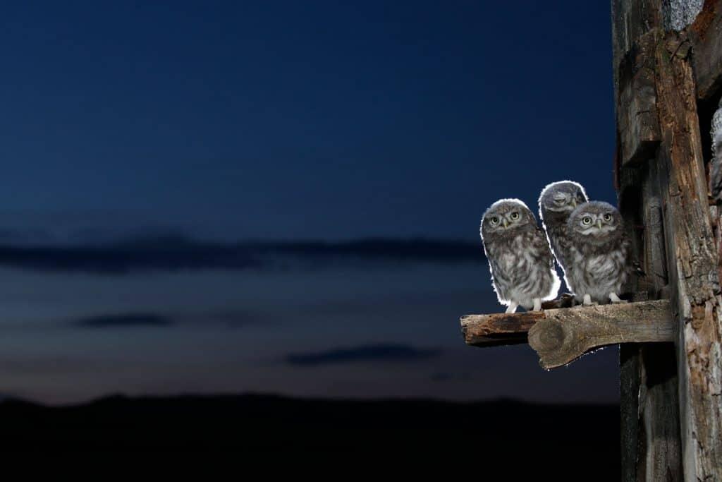 Drei Käutzchen sitzen in der Abenddämmerung auf einem Ast.