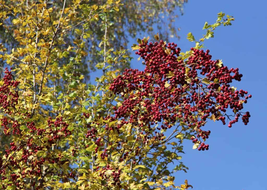 Auch die Beeren des Weissdorns sind knallrot.