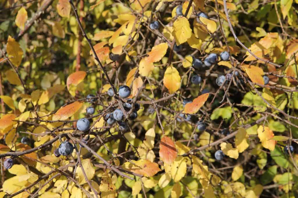 Der Schwarzdorn hat ebenfalls essbare Beeren.