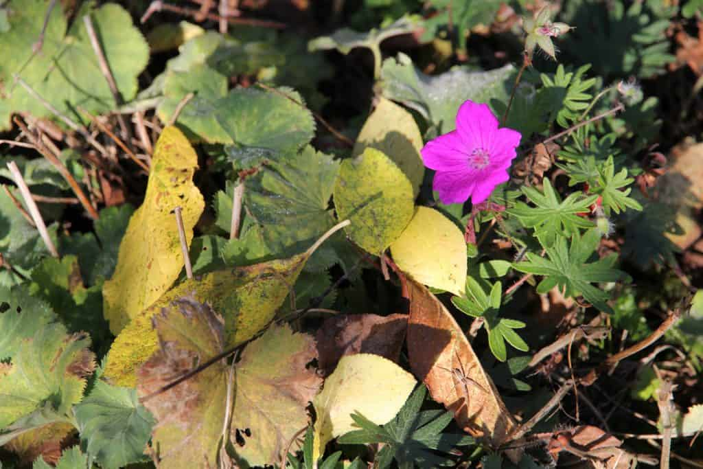 Pinke Blüte des Blutstorchenschnabel.