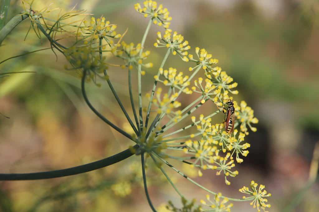 Ein gelb blühender Gemüsefenchel mit Insekt darauf.