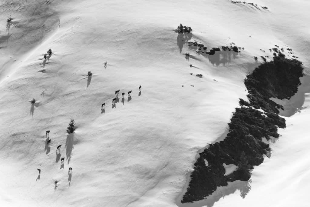 Gämsrudel zieht durch den tiefen Schnee.