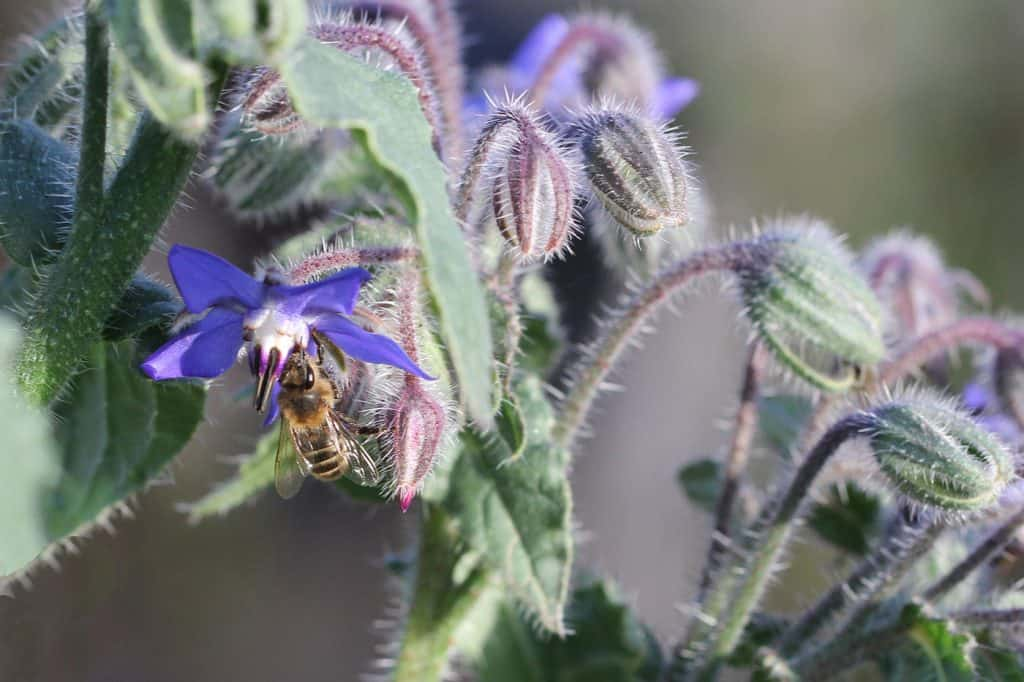 Honigbiene auf Borretsch.